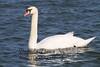 02-04-2012-Swan-8741