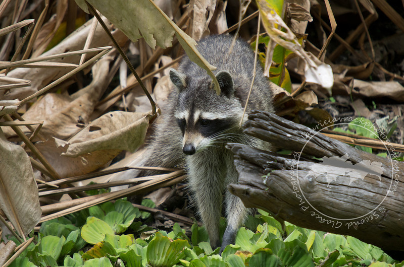Masked Bandit- Raccoon at the Corkscrew Swamp Sanctuary.