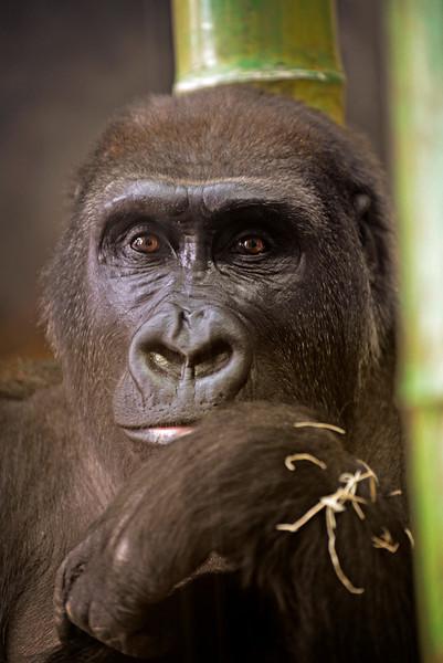 Gorilla Jojo