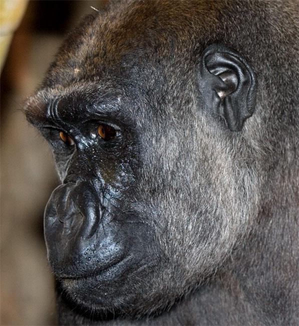 Young Mountain Gorilla, OKC Zoo