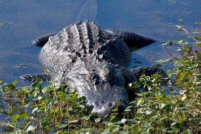 Big Gator, Brazos Bend Sate Park Spring 2009.