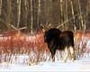 Moose<br /> Near Edmonton, Alberta