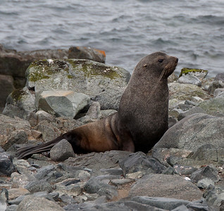 Sealion in Antartica