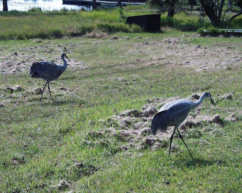 The sandhill cranes move on to the next backyard in Deltona, Fl.