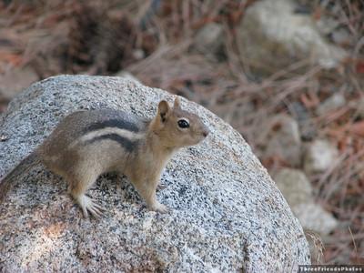 0925_2967_Golden_Mantled_Squirrel