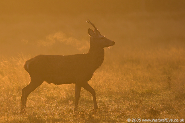 Young Red Deer stag at dawn