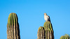 Mourning Dove on Cactus