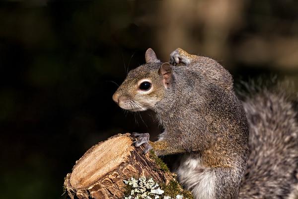 Sucker Punch Squirrel