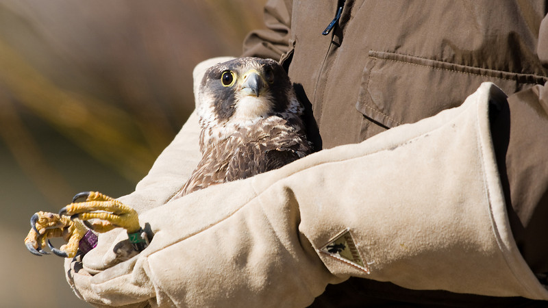 Hawk about to be released