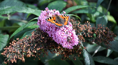 Tortoiseshell butterfly on wing shaped flower