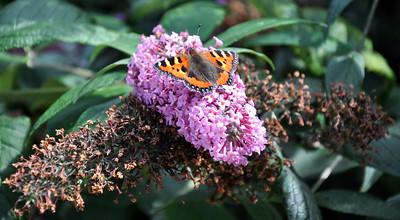 Tortoiseshell butterfly on wing shaped flower