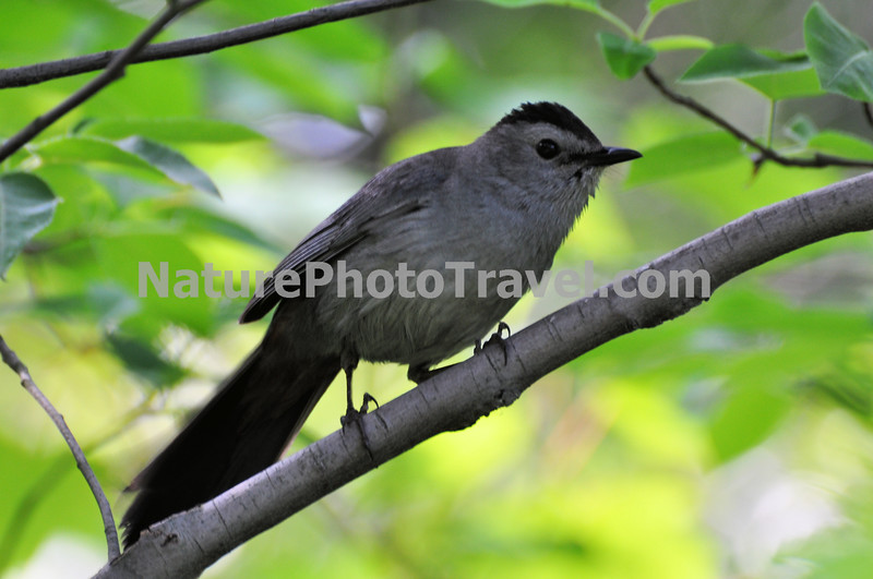 Gray Catbird. Gray Catbirds are relatives of mockingbirds and thrashers, and they share that group's vocal abilities, copying the sounds of other species and stringing them together to make their own song.