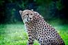 Houston Zoo Cheetah