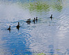 A Line of Gallinules