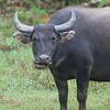 Water Buffaloes in the mud 3