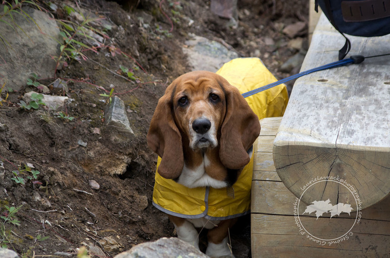 How to stay dry if you are a bassett hound