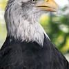 American Bald Eagle, AZ