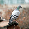 Pigeons <br /> © Pamela Stover<br /> Exposed Images Photography