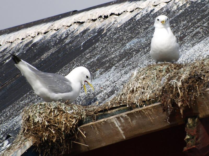 Nidos en el tejado (Gaviotas)