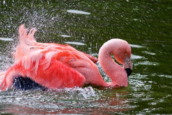 Splashing flamingo