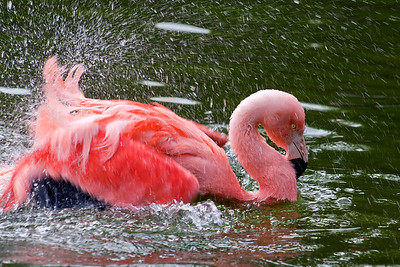 Splashing flamingo