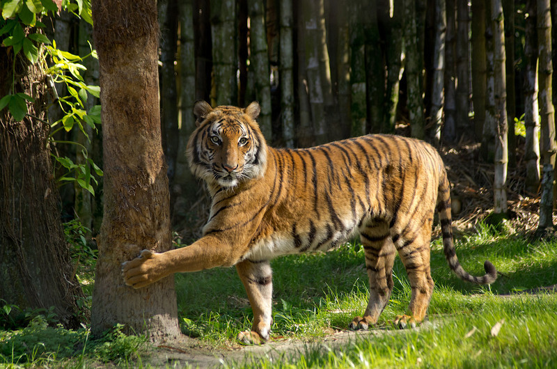 Tiger at his scratching post/tree-Naples Zoo, Fla