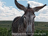 Wild donkey in Custer State Park in South Dakota; best viewed in the largest sizes; note the ladybug on its nose.