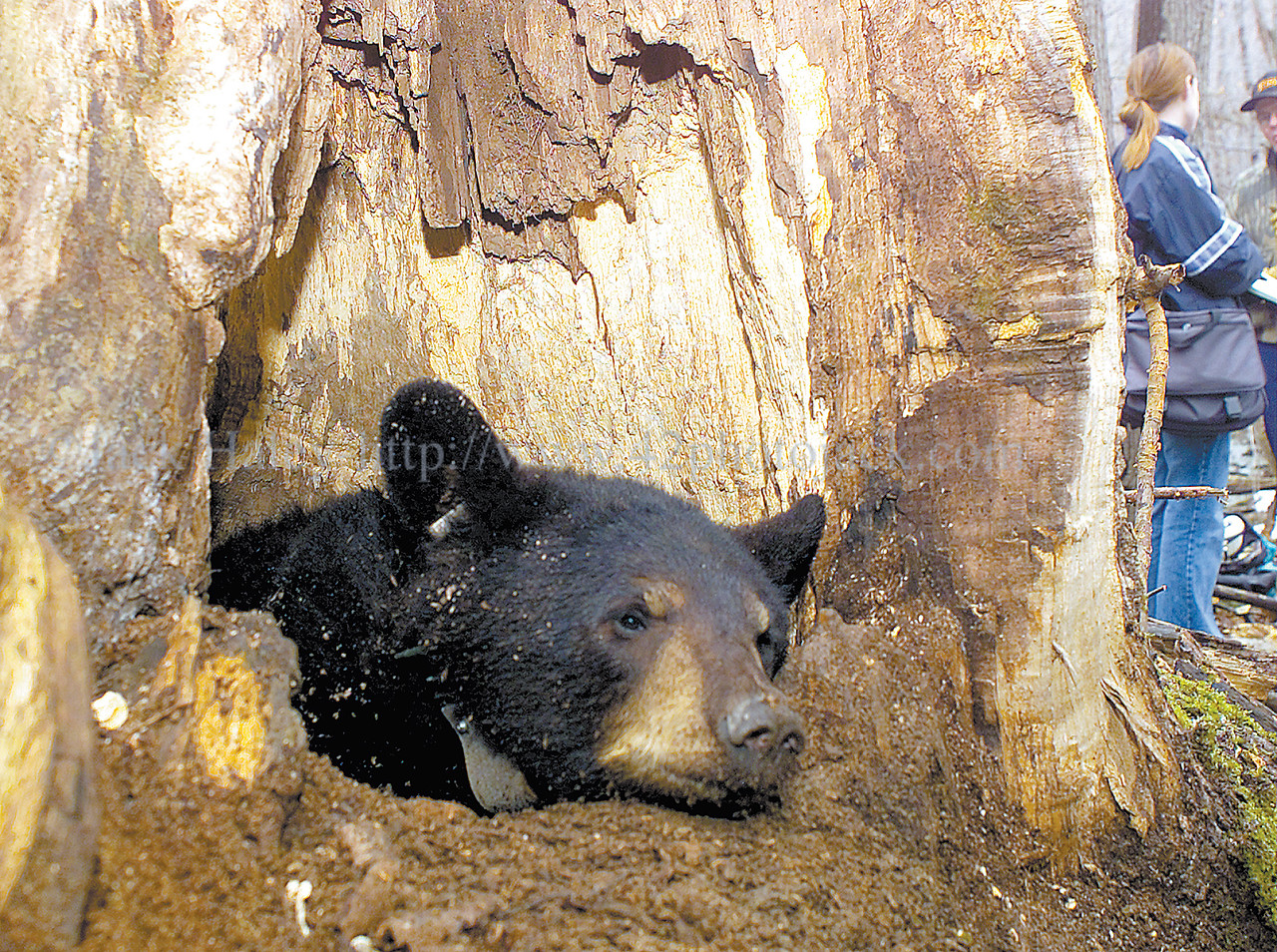 jhbear1 - A female bear, roughly 14 months old starts to have the ability to focus her eyes after being placed back into her den in a hollow tree after being drugged and checked and recollared with a radio transmitter.