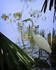 Snowy Egret in San Antonio