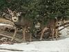 A Couple of Small Deer Under a Juniper