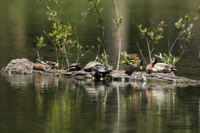 Western Pond Turtles and ducks are sharing a favorite spot.