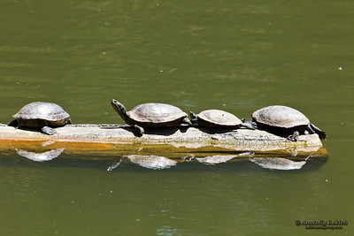 Western Pond Turtles are resting under the sun.  Western Pond Turtle, or Pacific Pond Turtle, (Actinemys marmorata or Emys marmorata) is a small to medium-sized turtle.