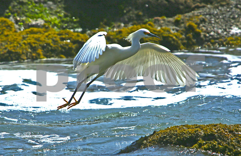 Egret in Flight, Malibu, CA 2014