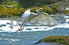 Egret in Flight, Malibu, CA 2014