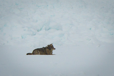 Coyote, Sleeping Bear Bay, winter 2014