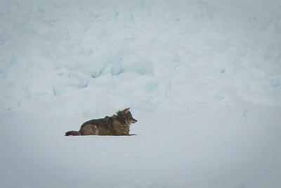 Coyote, Sleeping Bear Bay, winter 2014