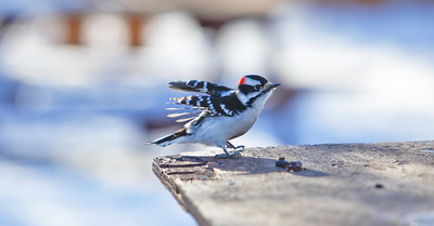 Pike Lake, Saskatchewan, Downy Woodpecker (Picoides pubescens)2010-5