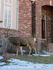 Buck in a Yard in Colorado Springs