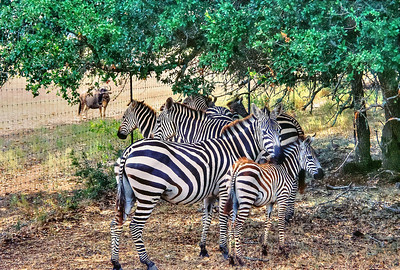 Zebras - Photo by W Davis