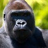 Western Lowland Gorilla Scientific Name:  Gorilla gorilla gorilla