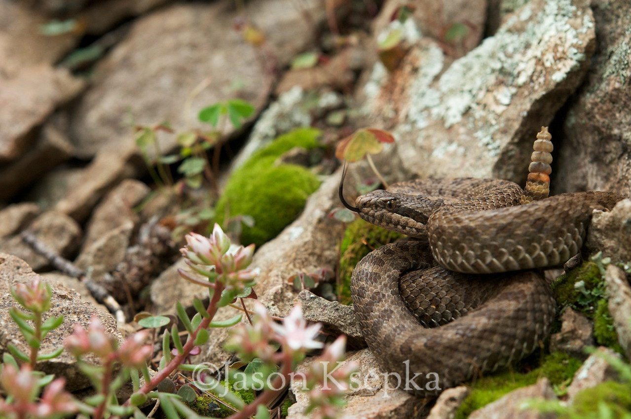 Crotalus pricei pricei, Twin Spotted Rattlesnake; Chiricahua Mtns, Coronado Nat'l Forest, Cochise Co Arizona 123