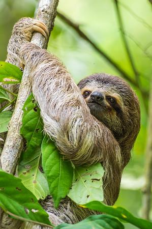 juvenile Three-toed Sloth