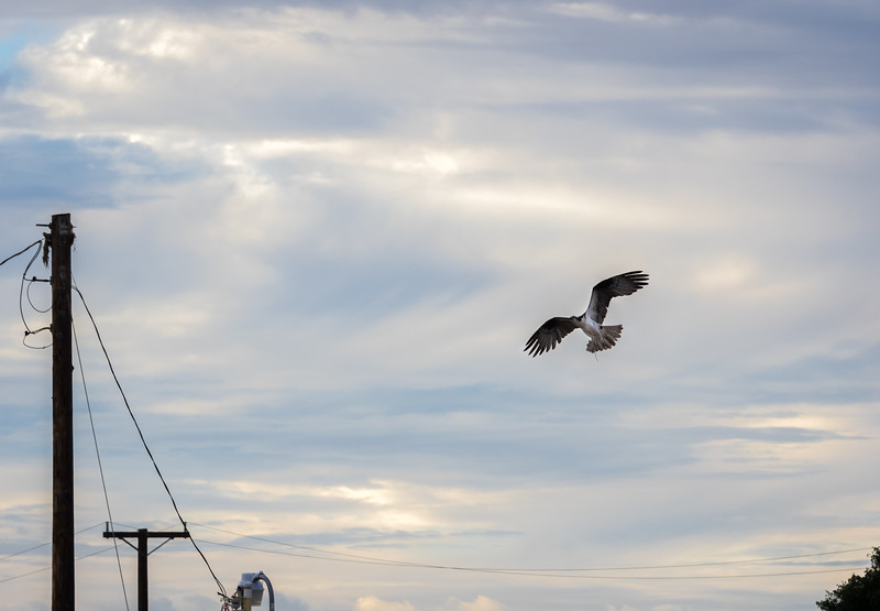 Osprey Flying Toward Telephone Pole Nest