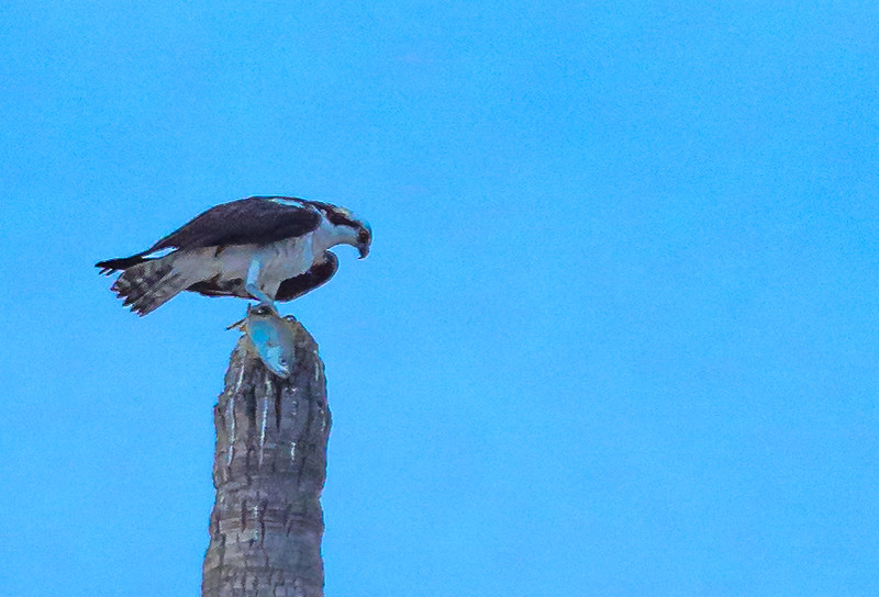 Osprey with Yellow Snapper for Breakfast