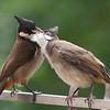 Bulbul feeding the young