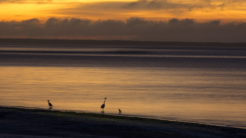 Duck, Osprey, and Seagull Before Dawn