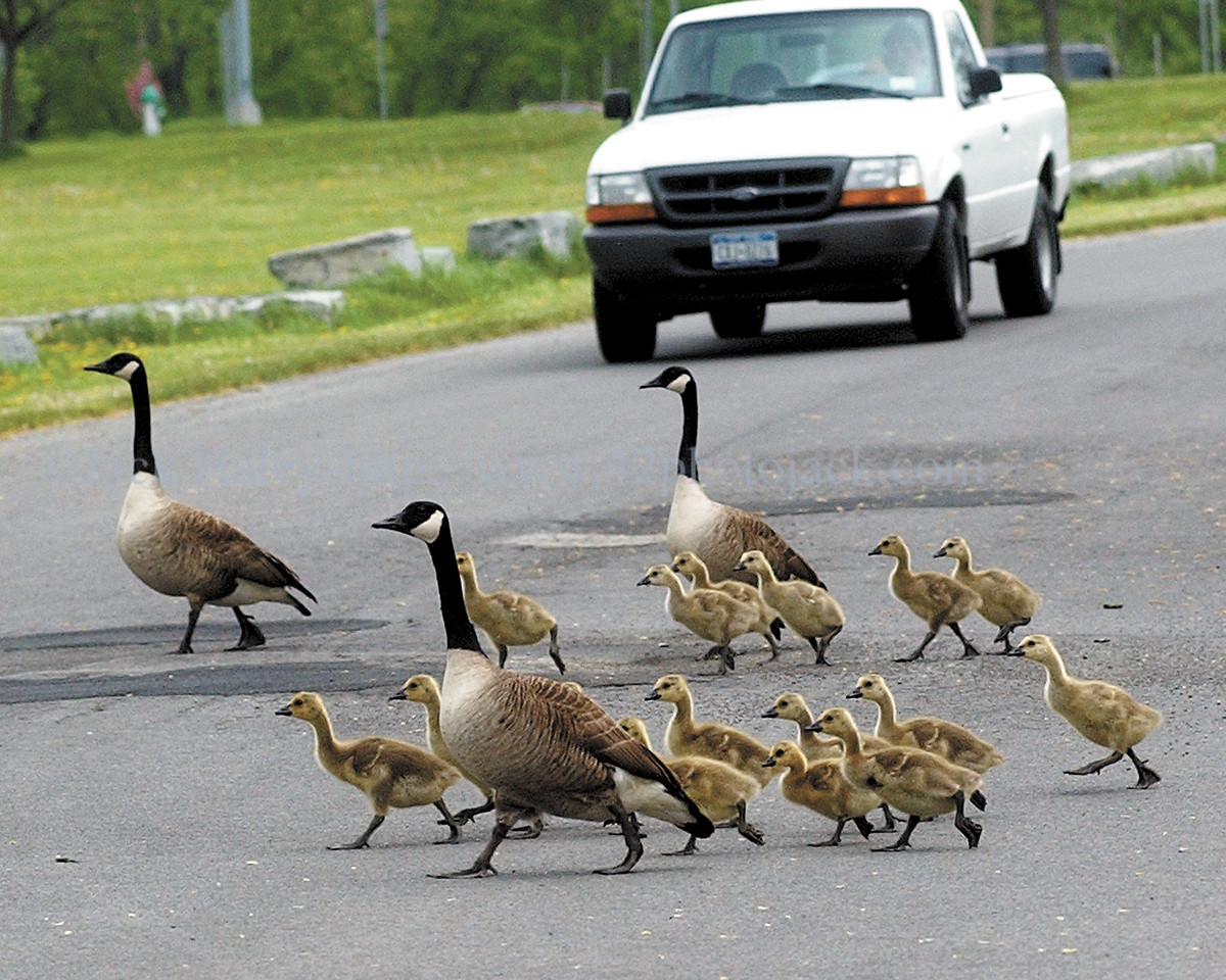 Three adult Canada geese and 16 goslings hold up traffic in the roadway of the Canandaigua Lake State Marine Park on Thursday, 5/11.