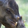 Babirusa<br /> Scientific Name: Babyrousa babyrussa