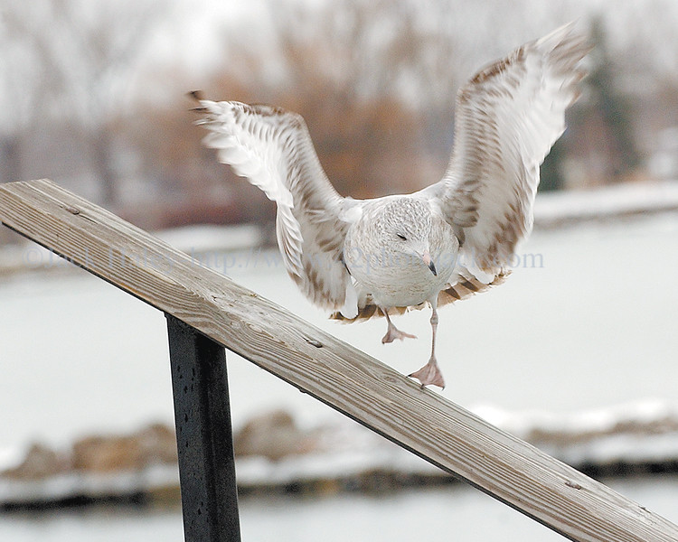 jhslicklanding - A sea gull slides down a wooden hand rail as it tries to land on it Friday, December 23,  the City Pier.
