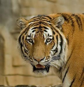 Siberian Tiger, Tulsa Zoo